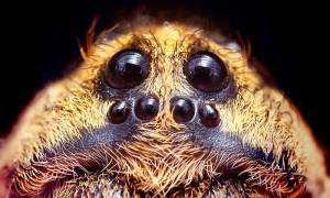 Øynene på en stor hogna ulve-edderkopp. Opoterser, wikimedia
